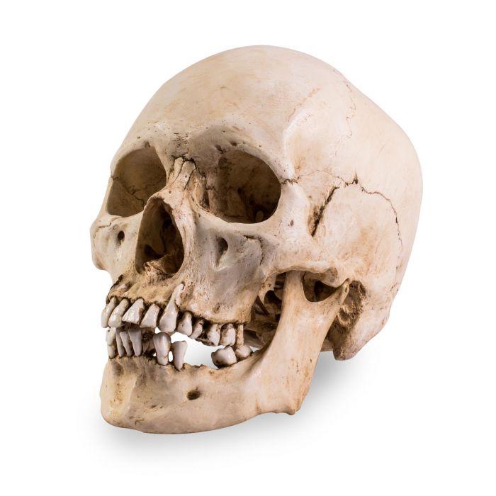 Skull Shoppe - Crâne d'Homme Adulte Asiatique (avec Marques d'Outils)